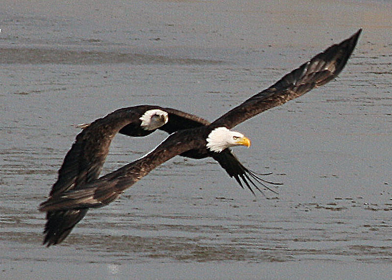 TWO ADULT AMERICAN BALD EAGLES IN FLIGHT.