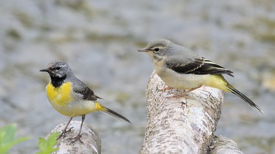 Male Grey Wagtail with Juvenile at Hungerford 10th June 2017