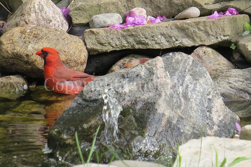 Cardinalis cardinalis – Northern cardinal -  in pond 2