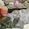 Cardinalis cardinalis – Northern cardinal -  in pond 2