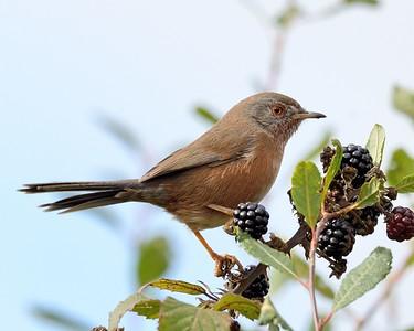 Dartford Warbler feeding on Blackberries 2
