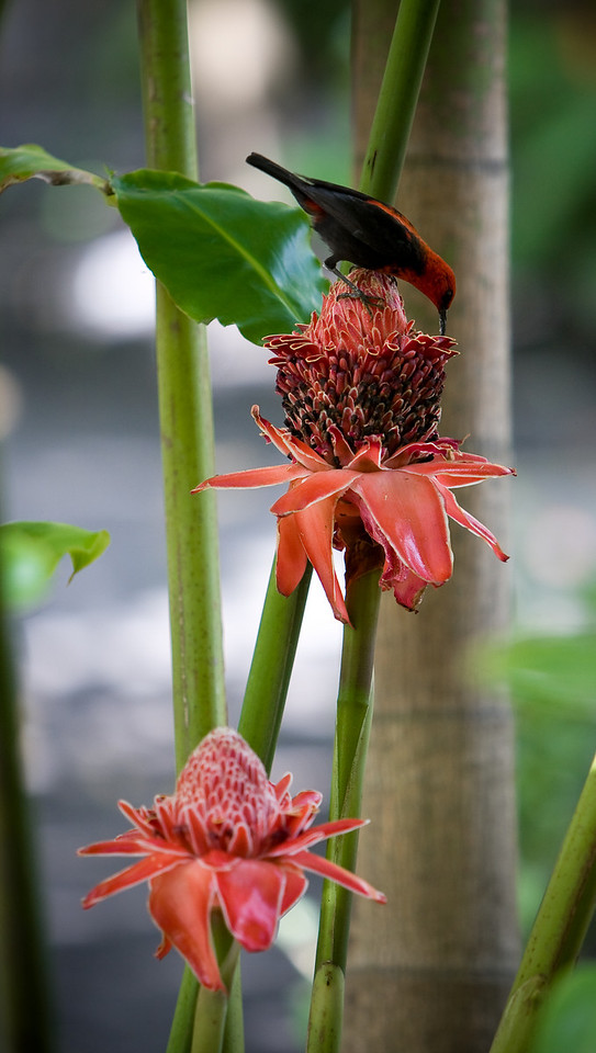 A Cardinal Myzomela perches and sucks nectar from a pair of Torch Lilies.<br /> <br /> Location: Tanna island, Vanuatu<br /> <br /> Lens used: Canon 70-200mm f2.8 IS