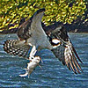 OSPREY WITH ITS FRESH CATCH