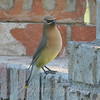 Cedar Waxwing By My Window View 2