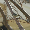 Ruby-crowned Kinglet View 1