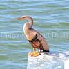 Anhinga anhinga – Snakebird 4
