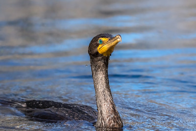 Double-crested cormorant swimming around