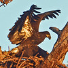 """Golden Hour"" Eaglet test its wings."