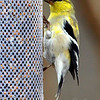 The Male Goldfinches Are Starting to Molt Into Their Breeding Colors