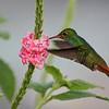 Rufous tailed hummingbird (ruostepyrstökolibri; Amazilia tzacatl) in Costa Rica