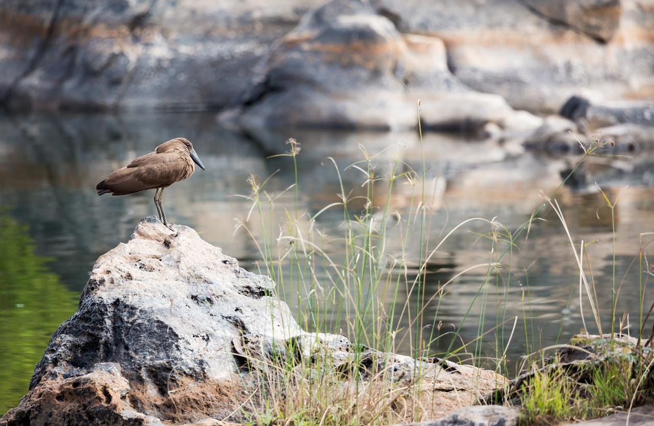 Hamerkop.<br /> <br /> Location: Nkhotakota Forest Reserve, Malawi<br /> <br /> Lens used: Canon 100-400mm f4.5-5.6 IS