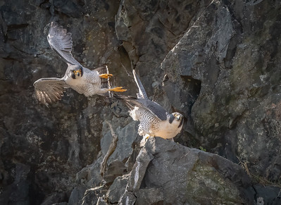Peregrine Falcon dismount after mating