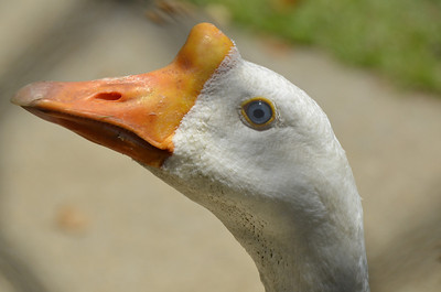 Anser cygnoides domesticus - White Chinese Goose was looking for some free handouts.
