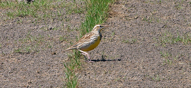 Meadowlark In The Dirt