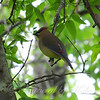 Cedar Waxwing In The Fish Hatchery