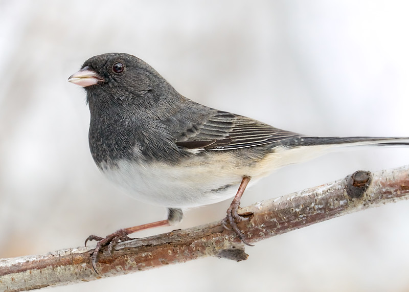 Dark-eyed Junco in Minnesota