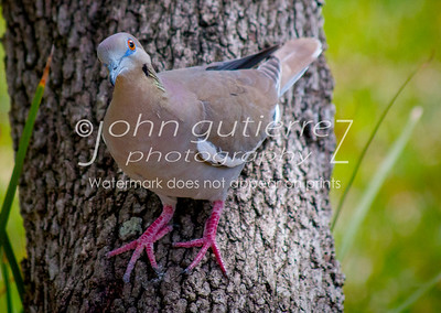 Morning dove-01