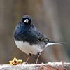 Male Dark-eyed Junco, Almost Time For Them to Leave and Return to the North