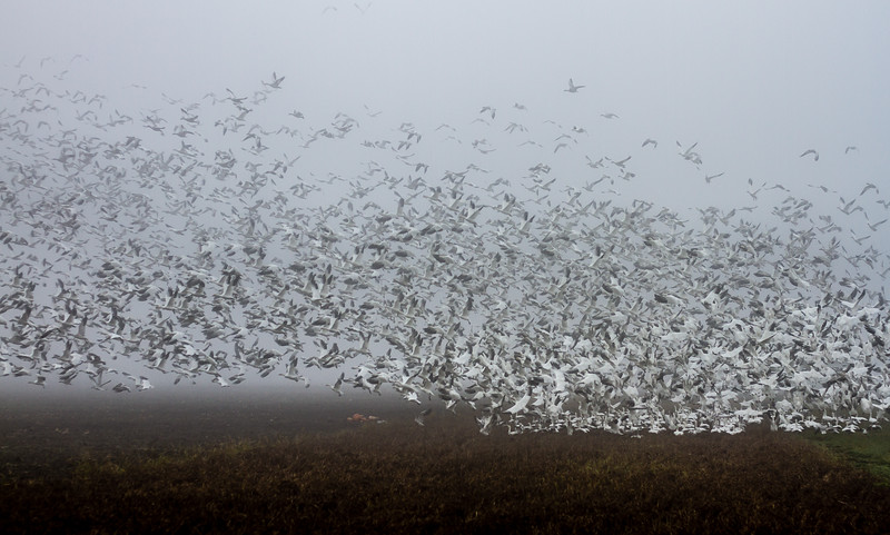 Snow Geese Surfing