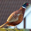 A Pheasant Surprise - 14 January 2017