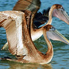 TWO JUENVILE BROWN PELICANS  GETTING READY TO FLY