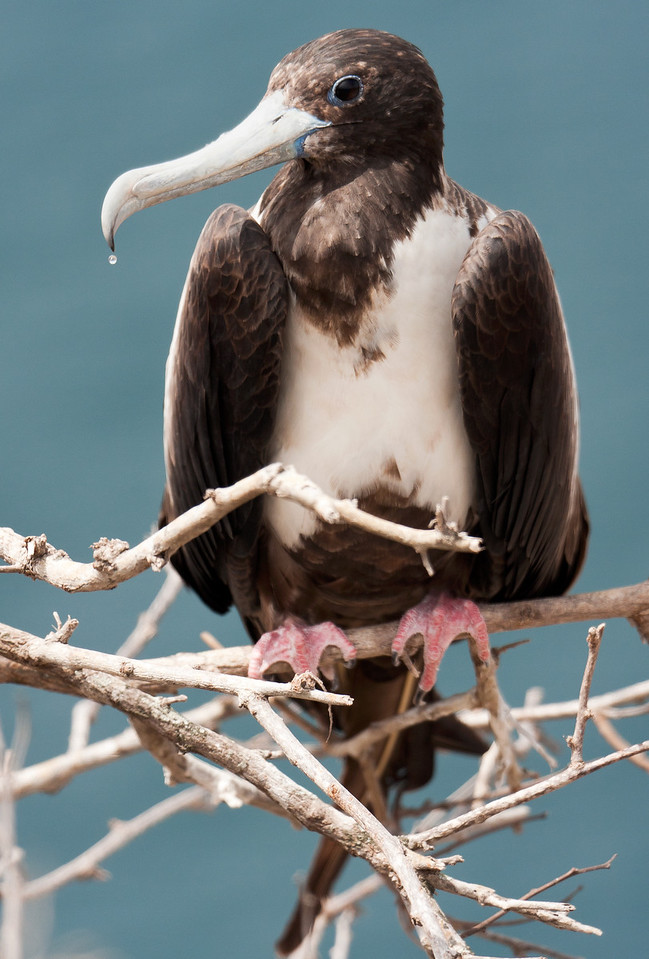 "A perched female Frigatebird ""sweats"" in the hot afternoon sun.<br /> <br /> Location: Isla de la Plata, Ecuador<br /> <br /> Lens used: Canon 100-400mm f4.5-5.6 IS"