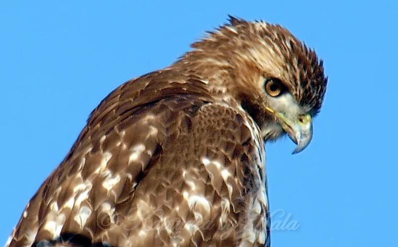 Juvenile Red-Tail Hawk Portrait