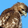 Juvenile Red-Tail Hawk Portrait