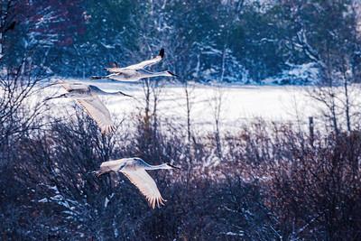 Sandhill Crane, Antigone canadensis