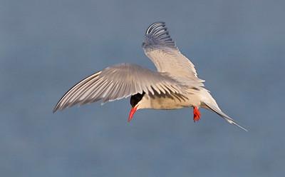 An Arctic Tern hovers above the Arctic Ocean. Arctic National Wildlife Refuge, Alaska. July, 2010. `