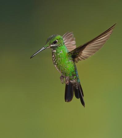 Green crowned hummingbird
