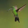 Green crowned hummingbird