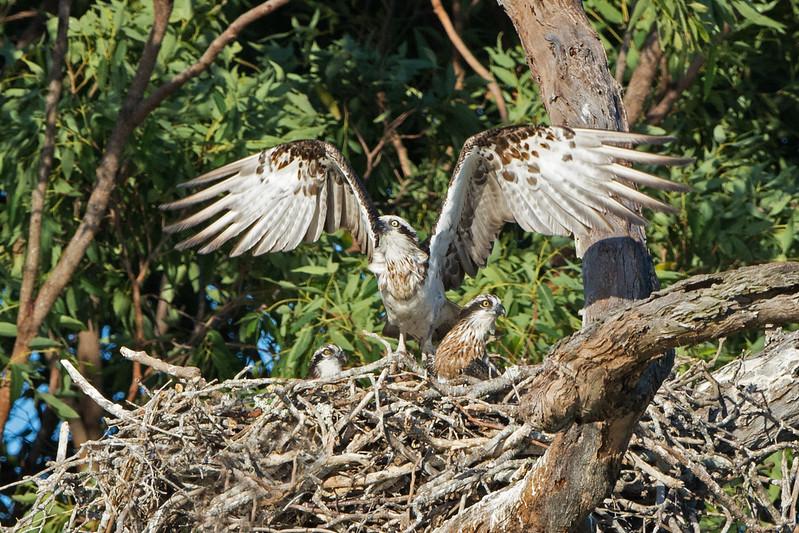 Eastern Ospreys (Pandion haliaetus), Tallebudgeraba Creek, Burleigh Heads, Queensland.