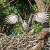 Eastern Ospreys (Pandion haliaetus), Tallebudgeraba Creek, Burleigh Heads, Queensland.