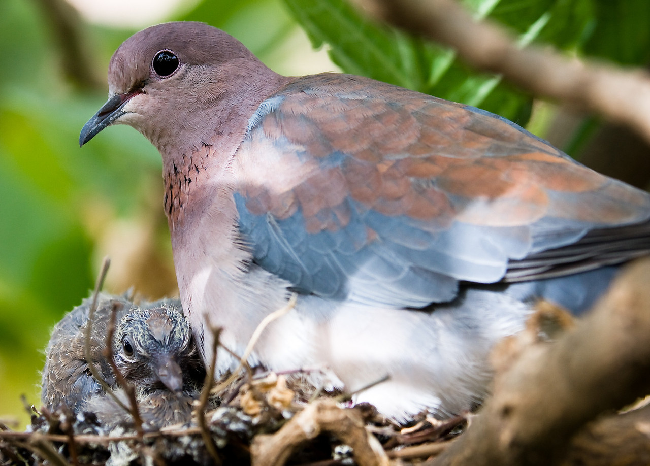 A Laughing Dove on its nest with a chick.  There was a second chick in the nest as well but it isn't visible in this shot.<br /> <br /> Location: Lalibela, Ethiopia<br /> <br /> Lens used: Canon 100-400mm f4.5-5.6 IS
