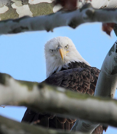 Bald Eagle death stare, Conowingo Dam, MD