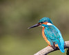 Common kingfisher / Alcedo atthis / IJsvogel  ♂︎