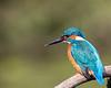 Common kingfisher / Alcedo atthis / IJsvogel  ♂︎