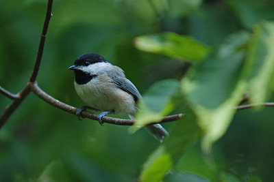 Black-Capped Chickadee in a Wild Cherry Tree
