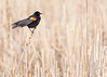 Red-winged blackbird in a Minnesota wetland