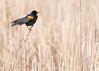 Red-winged blackbird in a Minnesota wetland