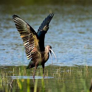 Angry Ibis