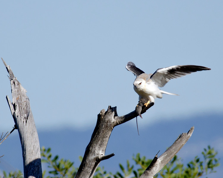 Black-shouldered Kite with a bush rat,The Spit, Gold Coast, Qld