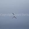 Fulmarus glacialis - Northern fulmar 12