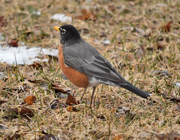 American Robin, March 2016