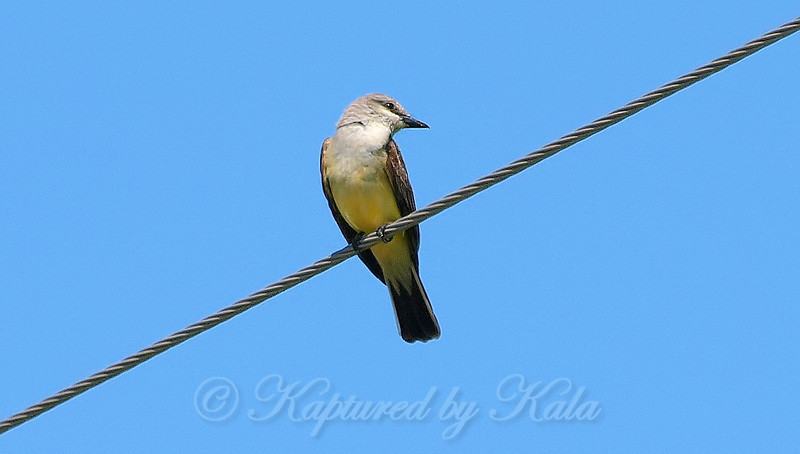 Watchful Western Kingbird