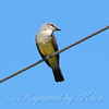 Watchful Western Kingbird