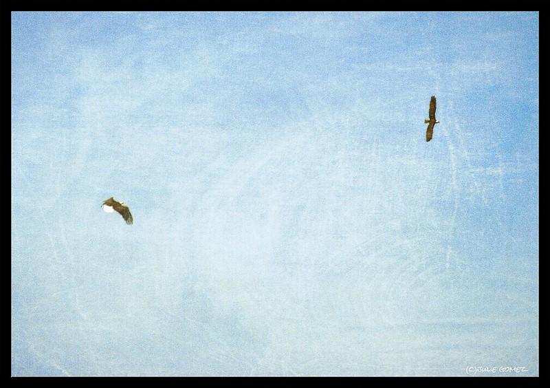 Eagle and Osprey