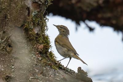 Willow Warbler at Speen Moor