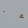 12 Hawk Chases Off The Kite